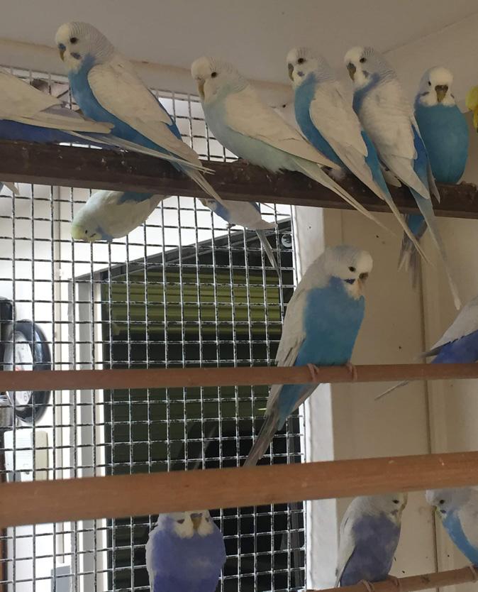 Prendergast Clearwing blues
